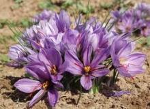 تولید ۲۱۰ تن کل زعفران در آیسک